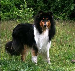 Duelund hund